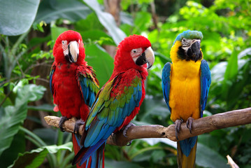 Photo sur Toile Perroquets Parrots in South East Asia