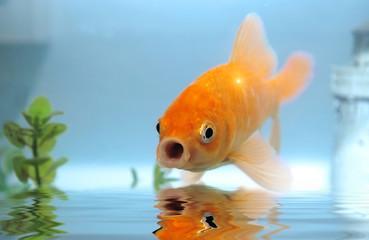 Talking gold fish.