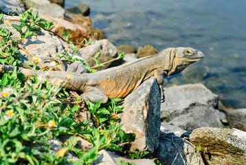 Iguana perched on rock