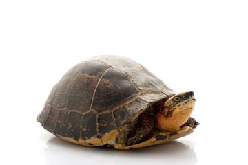 Flowerback Box Turtle