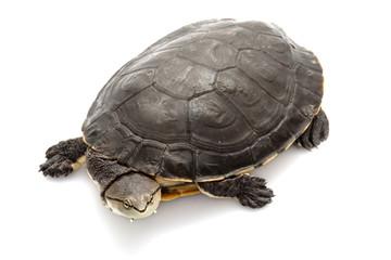 Argentine sideneck turtle