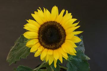 Single-Sonnenblume