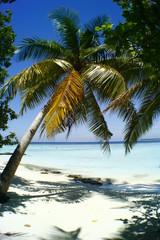 Palme - Palm