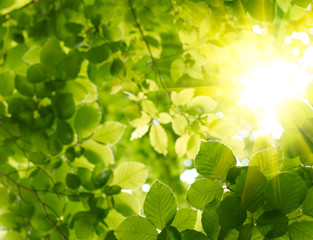 Fototapete - Green leaves with sun ray