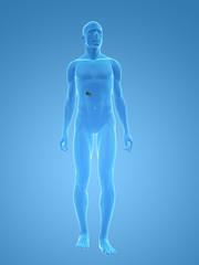 männlicher körper mit gallenblase