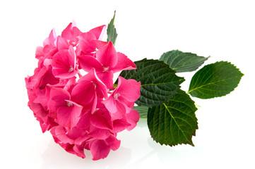 Fond de hotte en verre imprimé Hortensia Pink hortensia hydrangea