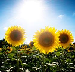 Sunflower  field under the sun