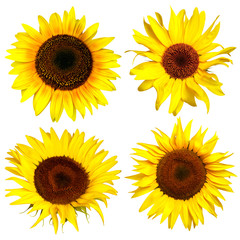 Four yellow sunflower