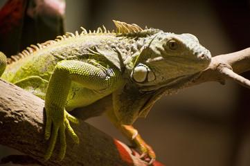 iguna  reptile   zoon  in a zoo