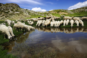 Poster de jardin Vache Sheep on the Bistra mountain drinking water on the glacier lake