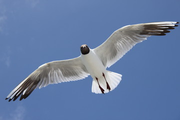 möwe seagull auf texel