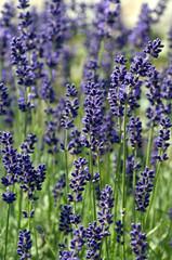 Lavendel, Lavendula, Hidcote Blue