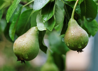 Green pears on tree after rain