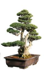 In de dag Bonsai bonsaï