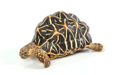 macro studio photo of a tortoise side view