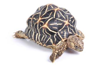 macro studio photo of a tortoise