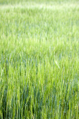 A field of tall green grass in summer with short depth of field