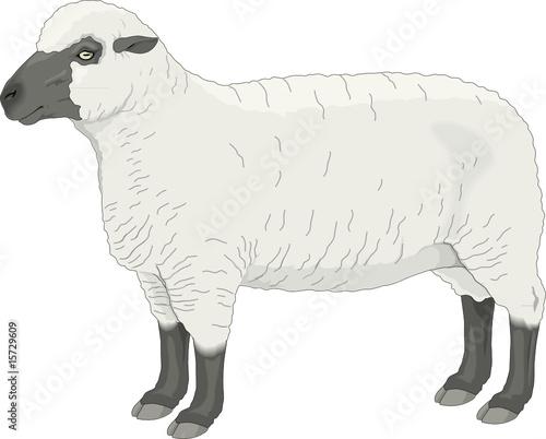 """SHEEP, Vector"" Stock Image And Royalty-free Vector Files"