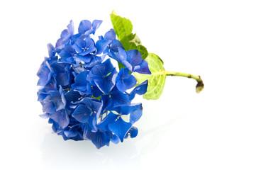 Blue hortensia hydrangea
