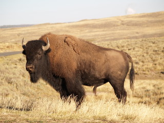 Fotorolgordijn Bison Yellowstone Bison in Fall