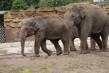 Asian Elephants: Love