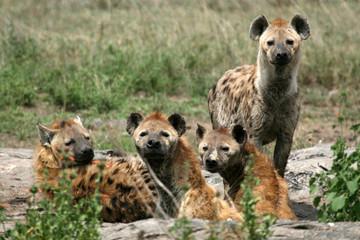 Spoed Fotobehang Hyena Hyena - Serengeti, Africa