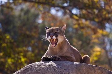 Foto auf Leinwand Puma Puma 4