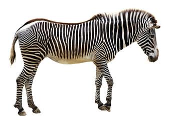Poster Zebra zèbre de grévy