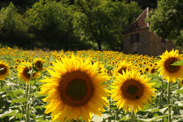 Sunflowers in front of historic old house, dordogne, france.