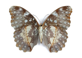 Cymothoe beckeri (female) (underside)