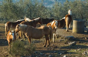 cavalli in libertà al mattino