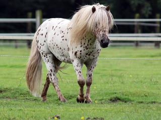 Mini Shetland Pony XVIII
