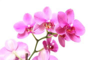 Foto auf Acrylglas Orchideen Rote/Rosa Nachtfalterorchideen
