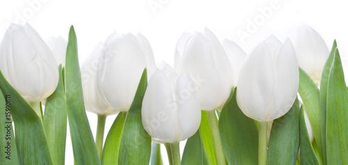 weisse tulpen stockfotos und lizenzfreie bilder auf. Black Bedroom Furniture Sets. Home Design Ideas