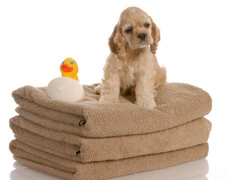 american cocker spaniel puppy ready for a bath