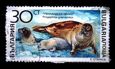 Greenland seal - Phogophoce graenlandica