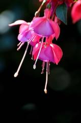 Fuchsienblüten