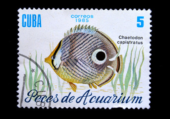 fish Chlaetodon capistratus