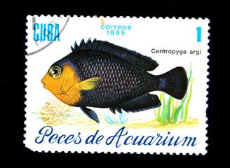 fish Centropyge argi