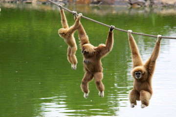Gibbon monkey family hanging on rope