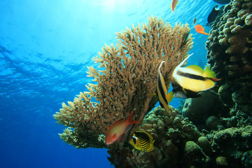 Acropora Coral and Bannerfish