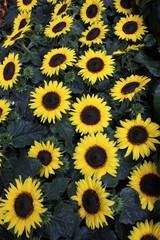 Sonnenblumen in Reihen