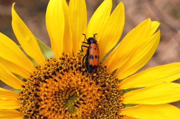 Red beetle on Sunflower