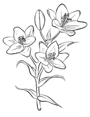 Vector lilies. Freehand drawing.