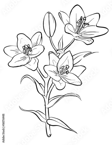 Drawing Lines Freehand : Quot vector lilies freehand drawing stock image and royalty