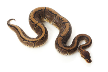chocolate pinstripe ball python