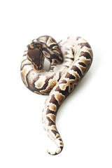 chocolate ball python