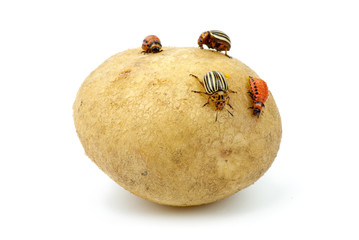 Potato infested with colorado potato beetles and grubs