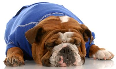 english bulldog wearing blue sweater sleeping
