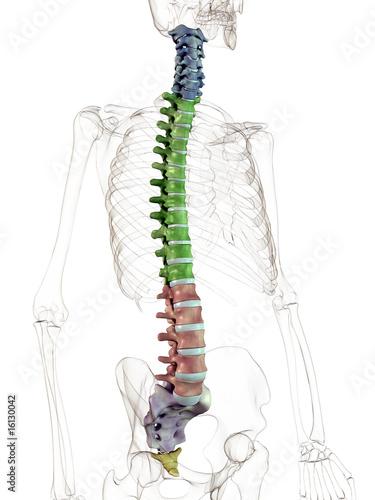 Bilder und Videos suchen: vertebralis